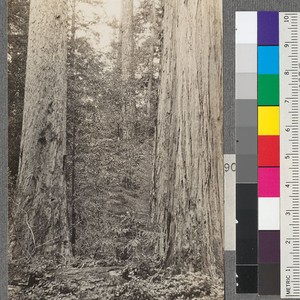 Two Redwood trees with different bark. One on right side has the ...