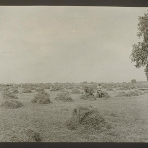 Alfalfa cut from field sown in April 1918. Showing second cutting of ...