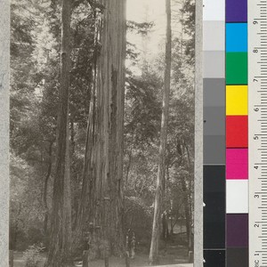 "The ""Mother Tree"" (Sequoia sempervirens) in California State Redwood Park, Santa Cruz ..."