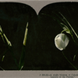"A single blossom of Calochorius albus, known as ""The Lantern of the ..."