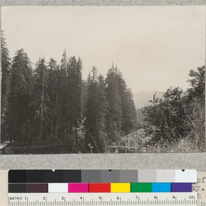 A series of 8 views (#4636-4643) of tops of trees of Dyerville ...