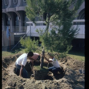 Workers planting tree outside library, ca. 1966