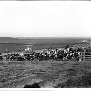 Small herd of milk cows, Chino Ranch, California