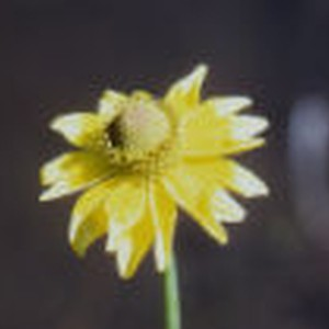 California coneflower