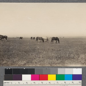 Horse range, near Homestead, Montana. Beyond the northern limit of sagebrush the ...