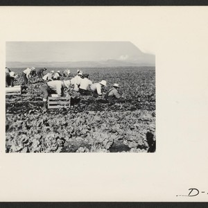 Harvesting spinach. Photographer: Stewart, Francis Newell, California