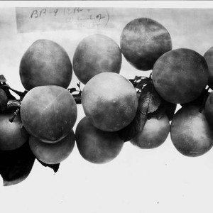 "Plums on a branch--""Plum BB-9 (E branch and W. limb of No. ..."
