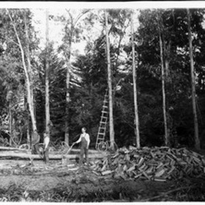 Eucalyptus trees planted and cut for fire wood, Nadam Ranch, ca.1900-1905