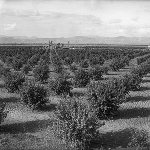 Sheridan Orange Grove With Home in Distance near Orange Cove
