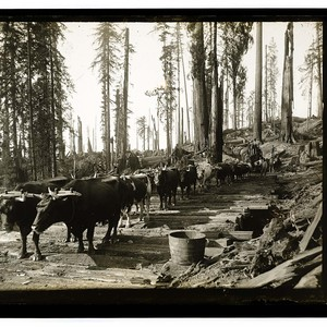 Among the Redwoods in California [Ox team - First stage of logging ...