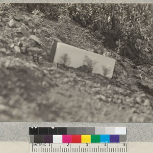 Three Coulter Pine seedlings in seed spot sown in February, 1926, on ...
