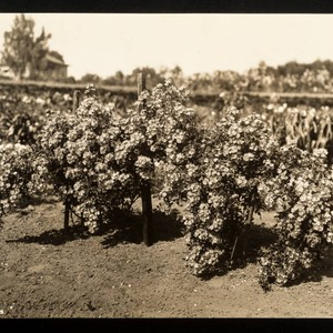 Roses, three bushes of single blossom roses in Luther Burbank's Gold Ridge ...