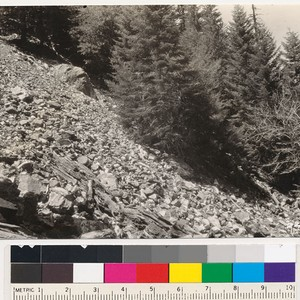 Sugar pine and white fir reproduction coming in on area swept by ...