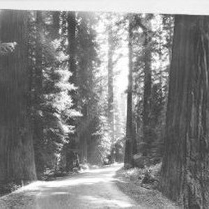 Dirt road in the Coast Redwoods