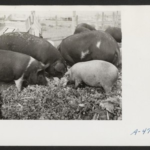 A close up of hogs eating garbage at the temporary location of ...