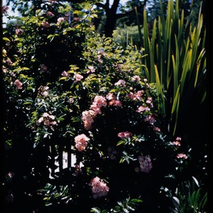 Pink multiflora rose on fence in the Luther Burbank Home & Gardens, ...