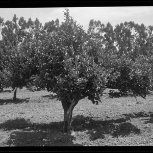 Diagonal View of Short Tree in Orchard