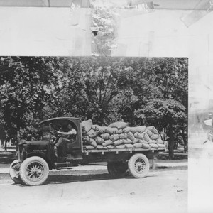 Unidentified man driving a flat-bed truck full of sacks of grain, Petaluma, ...