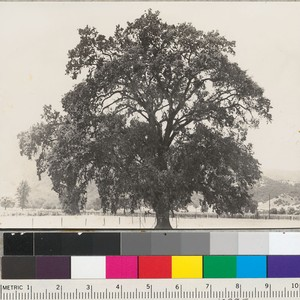Valley Oak. Q. lobata, near Hopland, California. Summer condition. See also No. ...