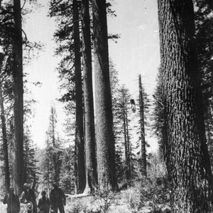 Larger stand of Sugar Pine