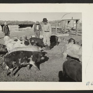 The Amache center hog farm foreman, Nakashima [Nakamura?], and two farm workers, ...