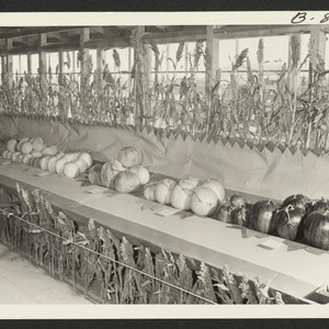 Melon crops exhibited at the Amache Agricultural Fair, September 11 and 12. ...