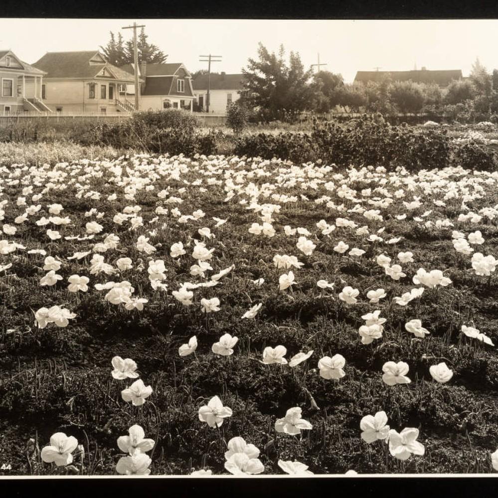 Calisphere: Primroses in Santa Rosa gardens